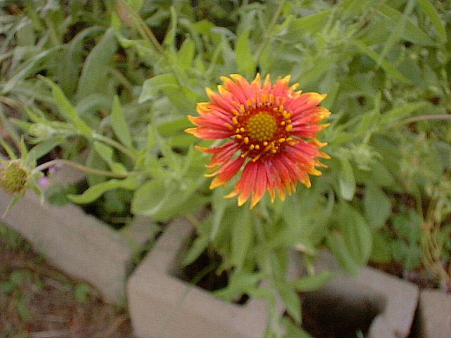 wildflower in my Effie Garden