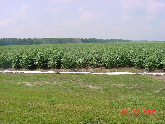 Cottonfields Louisiana